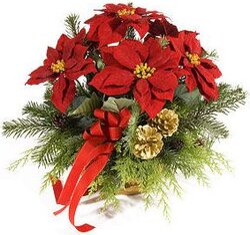 Stelle Di Natale Immagini.Stelle Di Natale A Domicilio